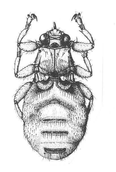 Hirschlausfliege